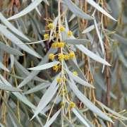 Acacia pendula flowers