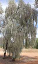 Acacia pendula - Weeping Myall