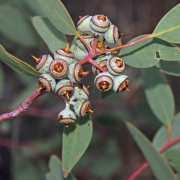 Eucalyptus oxmitra fruits - Allan Carr