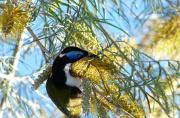 Blue-faced Honeyester in Grevillea 'Sandra Gordon'