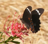 Orchard Swallowtail Photographer: Carol Heyworth